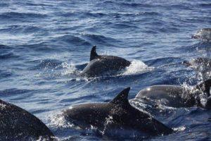 Walvissen en dolfijnen spotten azoren