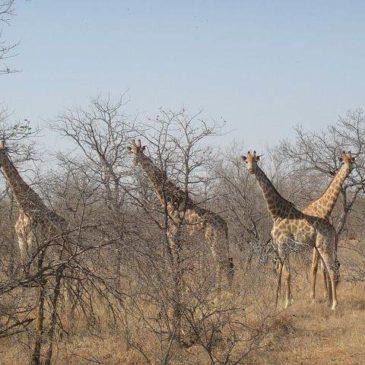 Kruger National Park Zuid Afrika