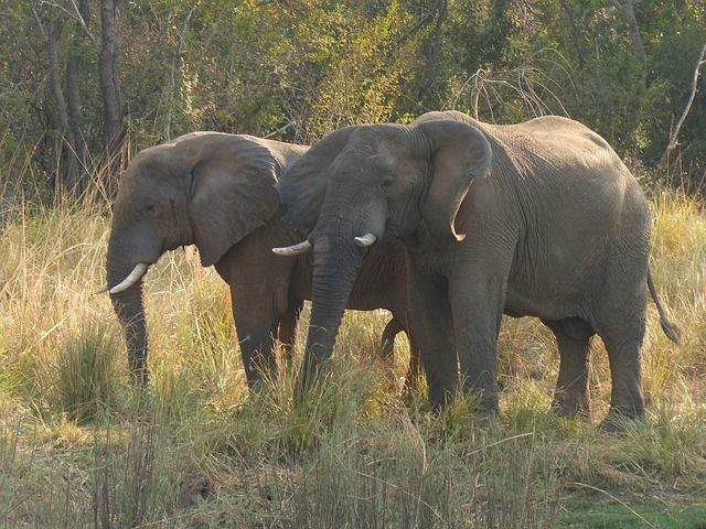 elephant-518408_640