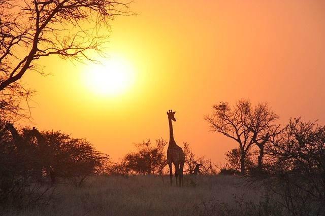 giraffe-1042618_640