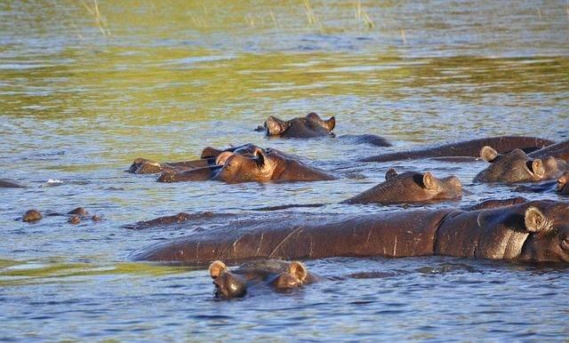 hippo-73144_640