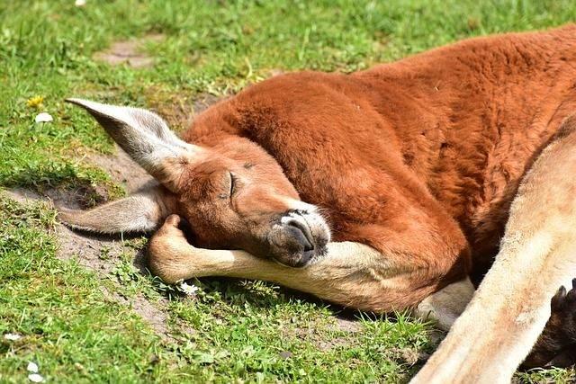 kangaroos-750853_640