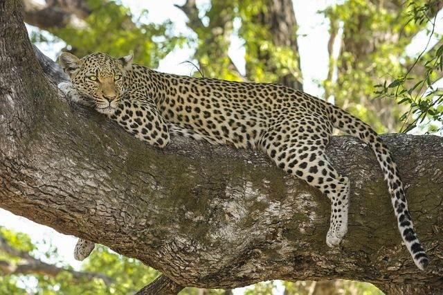 leopard-518210_640