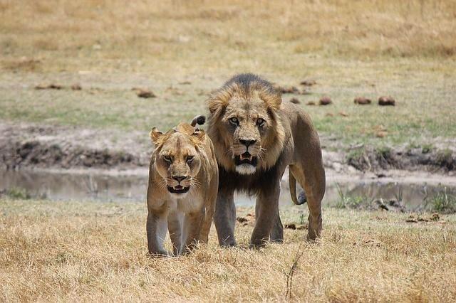 lion-1225338_640
