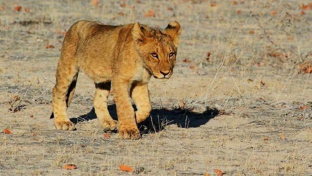lion-1305797_640