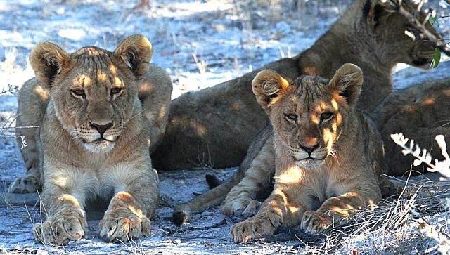lion-1305802_640