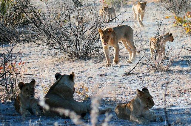 lion-1305804_640