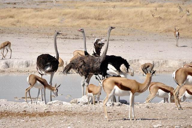 ostrich-63352_640