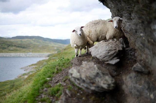 sheep-1076405_640