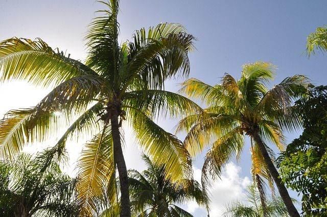 coconut-trees-1172459_640