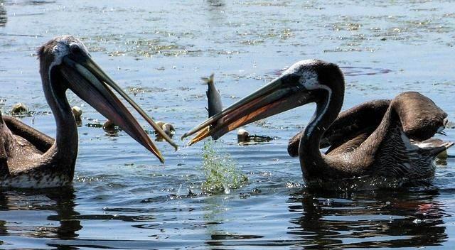 pelicans-336133_640