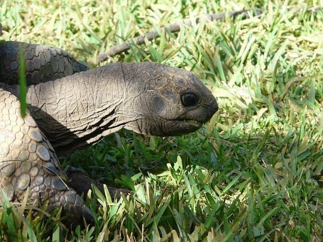 giant-tortoise-114134_640