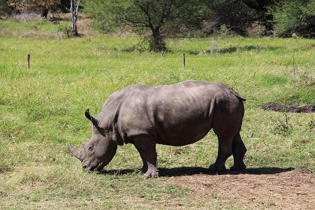 rhino-935534_640