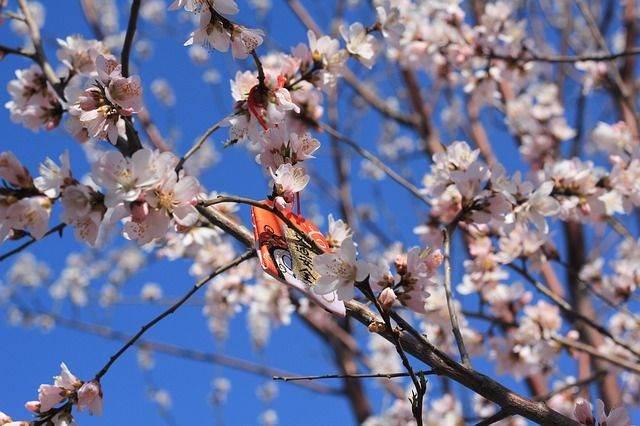 peach-blossom-694402_640