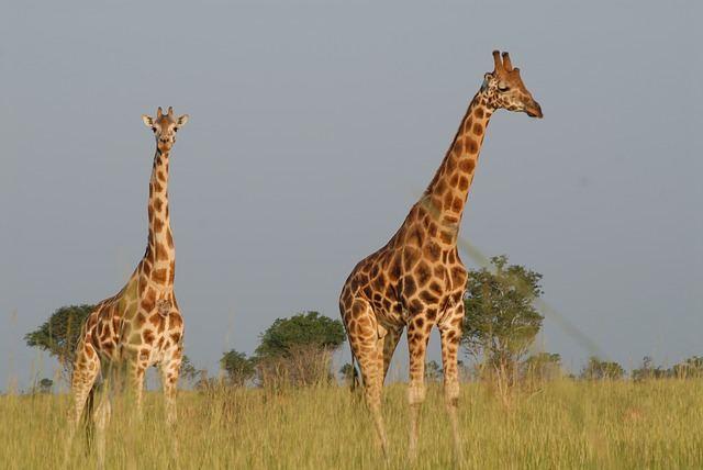 giraffes-513520_640