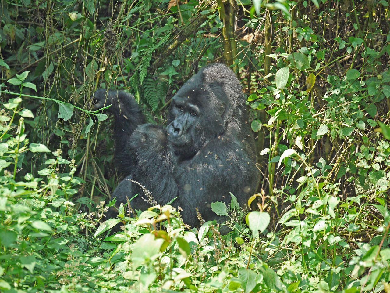 gorilla-1403650_1280