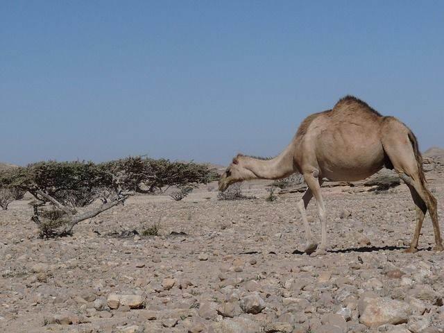camel-516722_640
