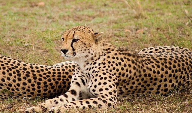 cheetah-1083277_640