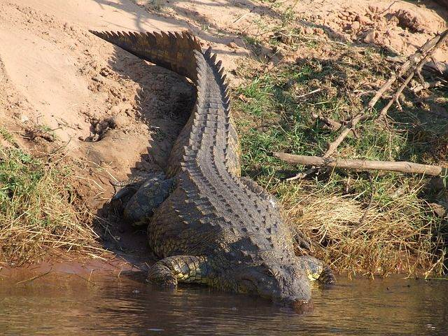crocodile-1428977_640