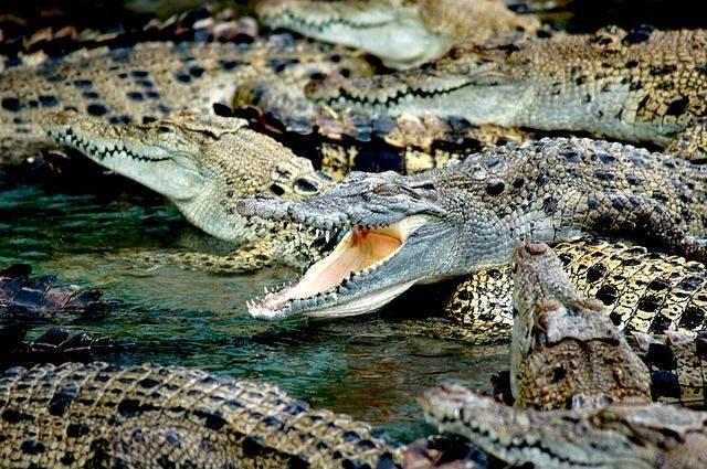 crocodiles-587833_640