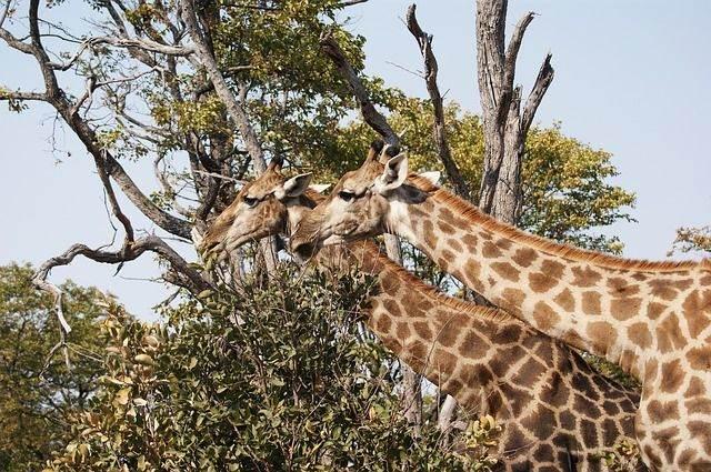 giraffe-750967_640