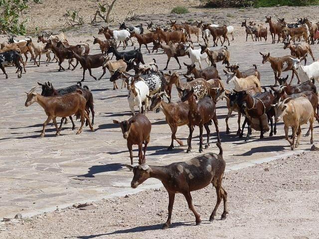 goat-210843_640