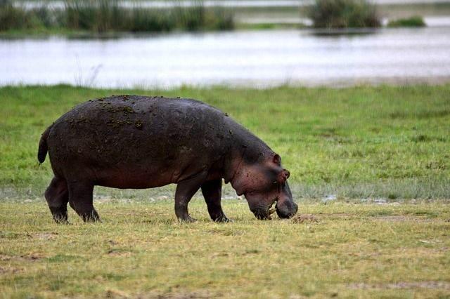 hippo-650614_640