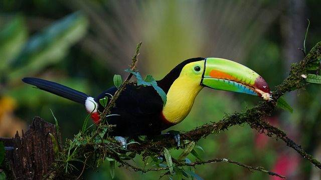 keel-billed-toucan-1021048_640