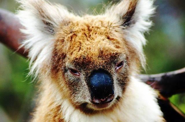 koala-bear-594341_640