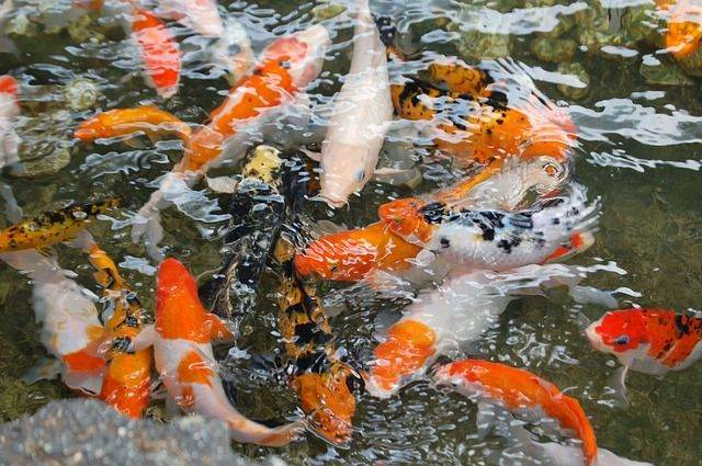 koi-fish-1081787_640