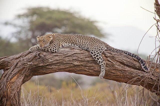 leopard-163035_640