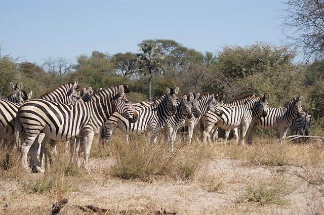 zebra-750959_640