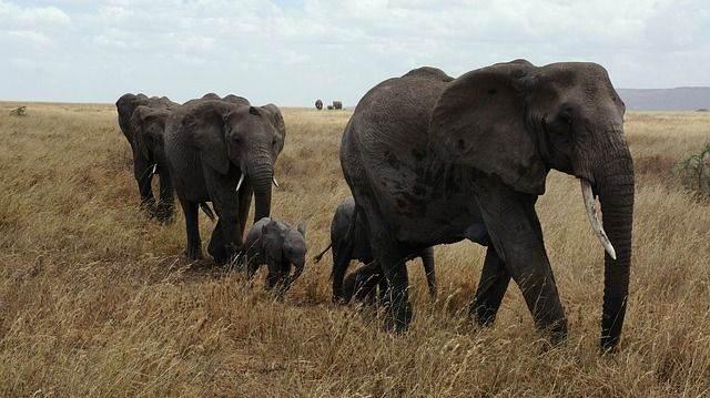 elephant-687338_640