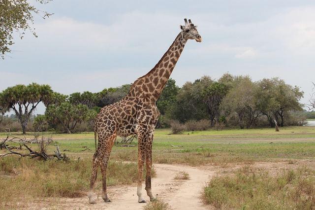 giraffe-1029795_640
