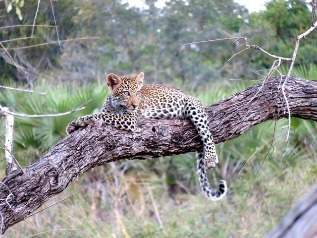 leopard-1021486_640