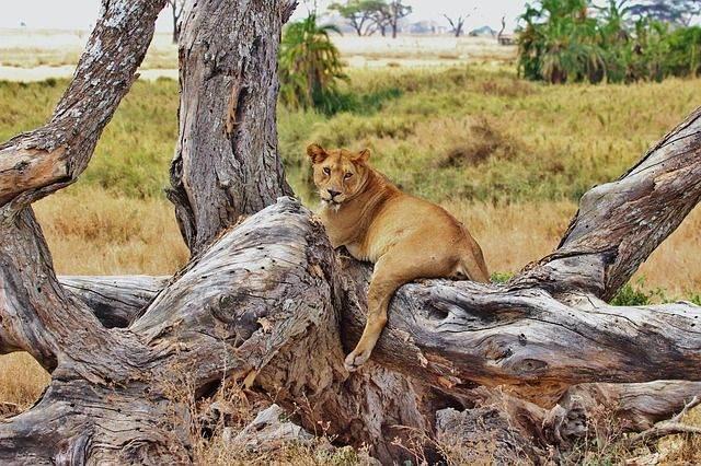 lion-277328_640