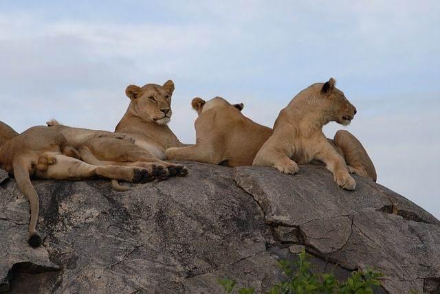 lions-75880_640