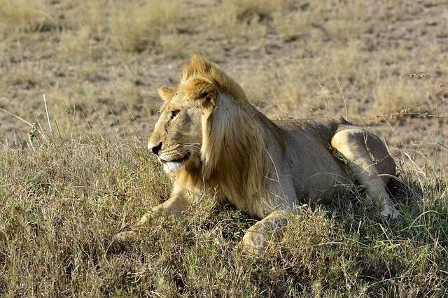 the-lion-650634_640