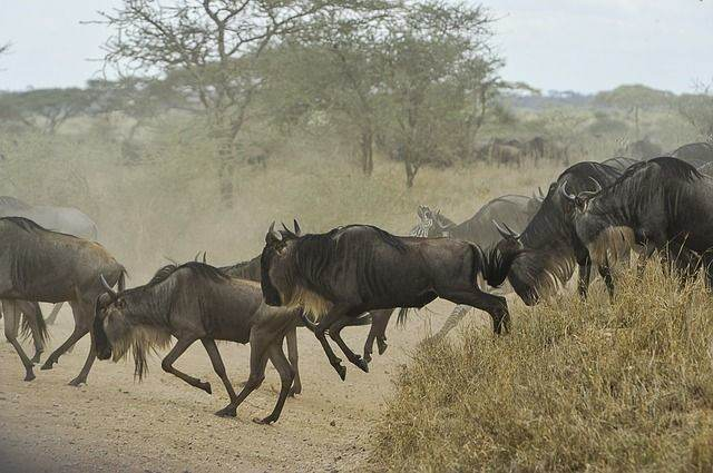 wildebeests-805391_640