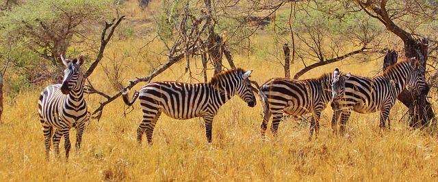 zebra-278371_640