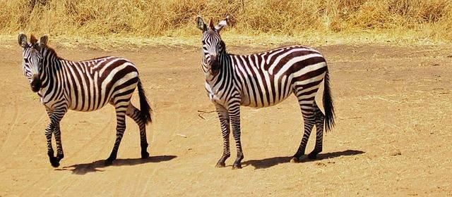 zebra-287317_640