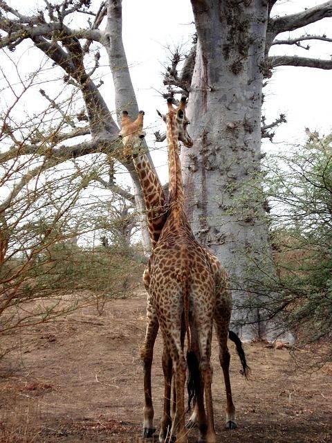 giraffe-202526_640