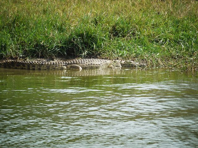 crocodile-1536358_640