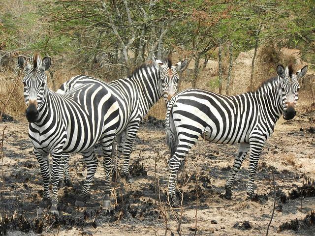 zebras-1536871_640