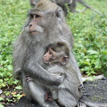 Monkey Forest in Ubud op Bali